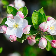 Flowers Of An Apple Tree. Shal...