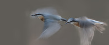Two Nuthatch In Flight, One Af...