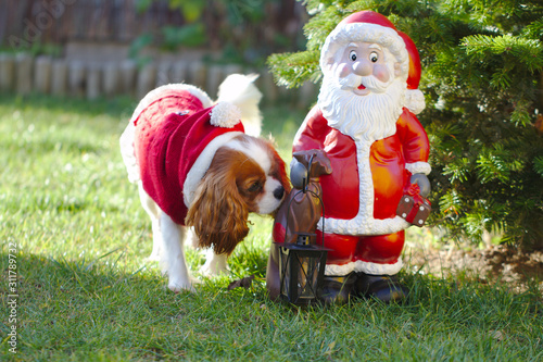 Dog cavalier king charles spaniel next to a figure of santa claus Poster Mural XXL