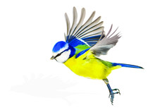 Cute Bird Is Flying. Vector Image. Bird: Eurasian Blue Tit. White Background.