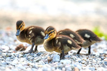 Lots Of  Little Ducklings Are Playing On The Riverbank