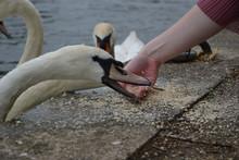 Mute Swan (Cygnus Olor) Being ...