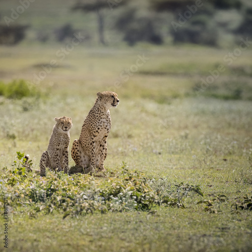 Momma and baby Cheetah