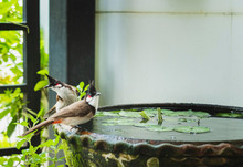 Close-Up Of Two Red-whiskered Bulbul Birds Perching On Lotus Basin
