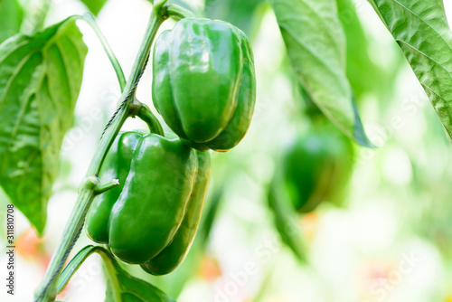 Green bell pepper plant growing in organic vegetable garden Slika na platnu