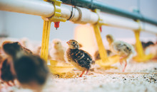 Little Small Quail Poultry Whi...