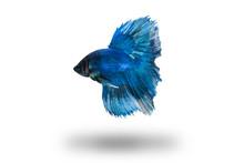 Blue Bettafish Isolated On Whi...