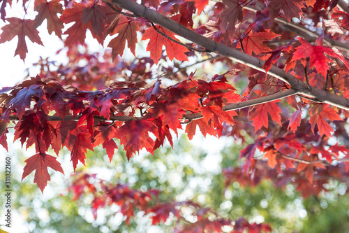 Fall color red leaves on green trees in the autumn