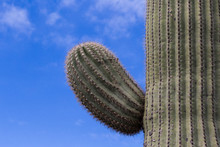 Saguaro Branch With Blue Sky