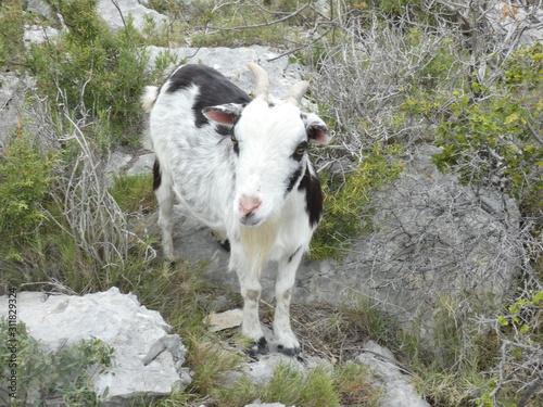 Slika na platnu Photo of a goat in the provencal scrubland