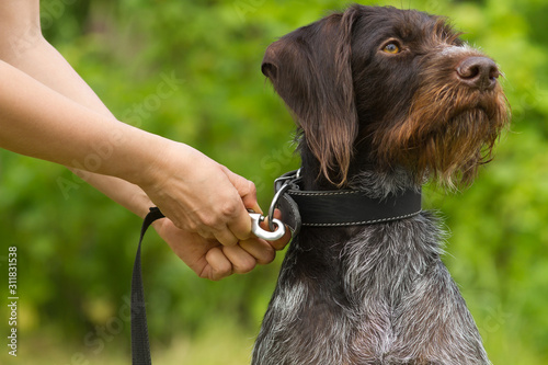 hands of owner take the dog on a leash Canvas Print