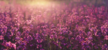 Evening Summer Meadow With The Beautiful Purple Wildflowers In The Sunset