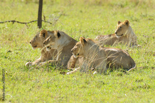 Photo  Closeup of a  Lion pride (Panthera leo, or Simba in Swaheli)  in the Serengeti