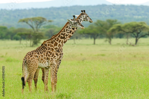 Photo Pair of Masai Giraffe urinating in unison (Giraffa camelopardalis tippelskirchi