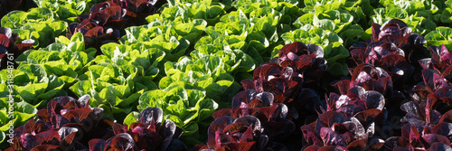 Salat - Ernährung - Essen - Lollo Rosso