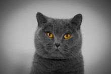 British Shorthair Cat, Closeup View Of Head With Yellow Eyes