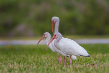 Bright American White Ibis Birds Closeup Standing In The Grass On A Sunny Day.