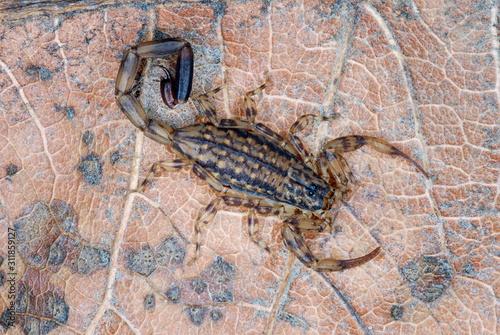 Mesobuthus tamulus, Scorpionidae, Scorpionida, Arachnida, Lychas sp Canvas Print