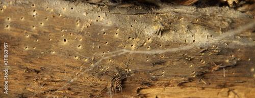 Fotografiet ein Holzwurm in einen alten Gebälk