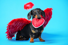 Cute Black And Tan Dachshund Sitting On Bright Blue Background With Crimson Red Feathered Wings On The Back And Halo Under The Head And Holds A Heart-shaped Gift In His Teeth. Pretty Real Angel Dog.
