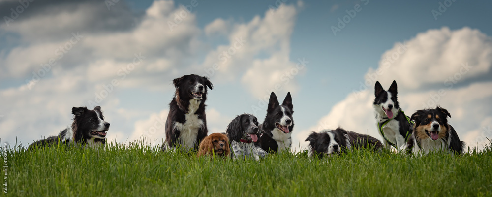 Fototapeta A pack of obedient dogs - Border Collies and other in all ages from the young dog to the senior