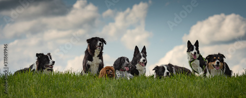 Foto A pack of obedient dogs - Border Collies and other in all ages from the young do