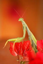 Awesome Mantis Resting On Red Leaves