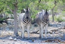 Zwei Zebras Schauen Wachsam Am...
