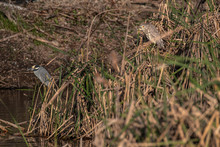 Yellow-Crowned Night Heron Adu...