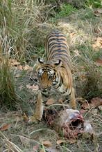 Female Tiger, Panthera Tigeris...