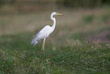 The Eastern Great Egret (Ardea Alba Modesta).