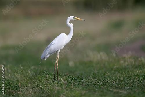 The eastern great egret (Ardea alba modesta). Canvas Print