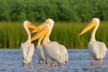 Flock Of White Pelicans Rest In Soft Evening Light.