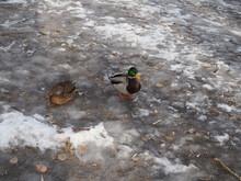 A Pair Of Wild Ducks On The Ice Frozen Pond. Wild Animal.