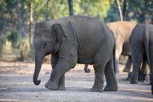 Young Elephant, Elephas Maximus, At Bandhavgarh National Park, Madya Pradesh, India.