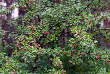 Bush Crataegus Monogyna With F...