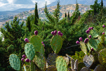 Beautiful Prickly Pear With Re...