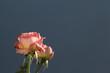 canvas print picture - rosa en primer plano con el fondo azul grisáceo