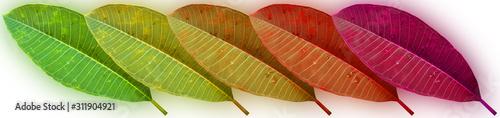 Fotografia feuilles de frangipanier
