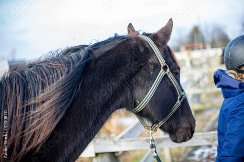 Dark brown horse with gray hackamore bridle led by person with blue coat and riding helmet