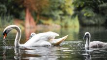 Swan Cup Gray  Duckling In Lon...