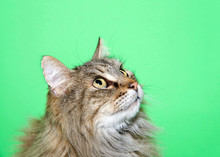 Portrait Of A Long Haired Tabb...