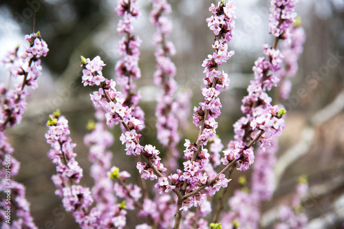 Fotografia Daphne mezereum, commonly known as mezereum, mezereon (Daphne mezereum L