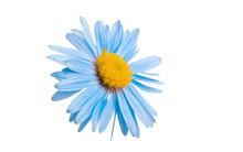 Blue Chrysanthemum Isolated