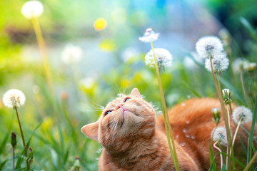 Ginger kitten walking in the grass with dandelions on a summer sunny day