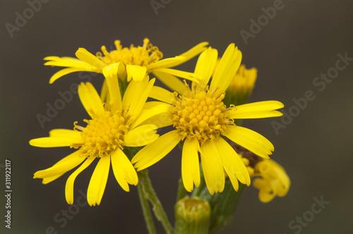 Senecio linifolius narrow leaved canary bush toxic plant with pretty yellow flow Billede på lærred