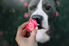 Hand Holding A Pink Rose Flower With Dog Nose Sniffing Up Close