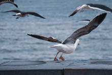 Seagulls Flying Away