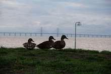 Mallard Ducks On A Small Plain...