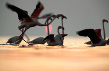 Greater Flamingos Flying With ...